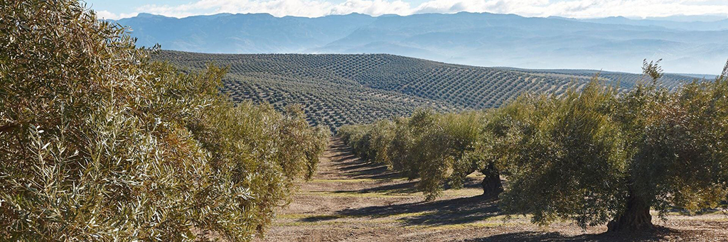 olive oil news